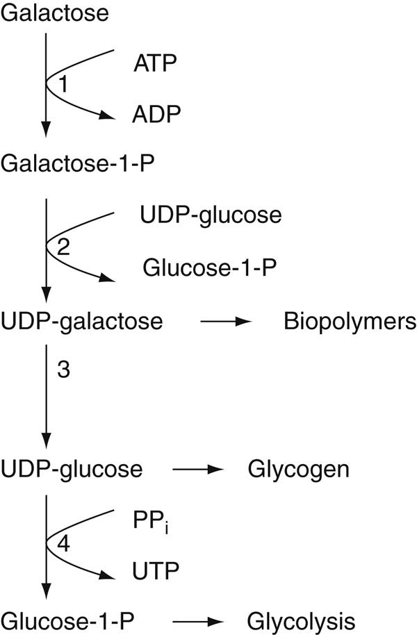 metabolic pathways of galactosemia Classic galactosemia is a potentially lethal disease caused by the  the role of  glycogen metabolism in the integration of metabolic pathways.