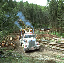 deforestation Mature trees being harvested from a...