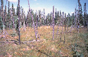 Bog dominated by Picea mariana in background,...