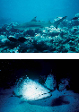 Apex predators like sharks (top) and groupers...