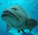 Large groupers, such as this Giant...