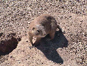 An American prairie dog, genus Cynomys. In June...