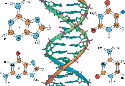 Double helical structure of a part of DNA and...
