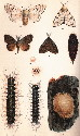 Life stages of gypsy moth: (1,2) adult female;...