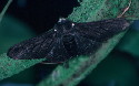 The carbonaria form of the peppered moth.