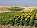 Sunflowers growing next to millet as part of a...