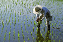 This Japanese farmer is transplanting young rice...