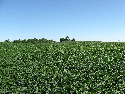 Soybeans, shown here, have been the primary...