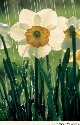 Like other members of the plant genus Narcissus,...