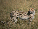 Known for their great speed and agility, cheetahs...