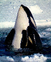 A killer whale (orca) and its calf surface...