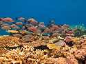 A school of fish among corals on the Great...