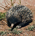 The short-beaked echidna is common throughout...