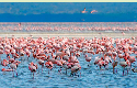 Flocks of pink flamingos on Lake Nakuru in Kenya.