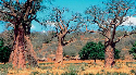 Baobab trees, with their typical swollen trunks,...