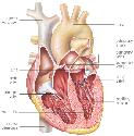 The human heart contains four chambers - two...
