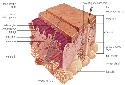 The skin consists of epidermal and dermal layers...