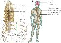 The nervous system is divided into two parts:...