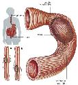 The digestive tract can be regarded as a long...