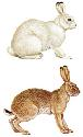 The wide range of the various species of hare,...