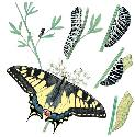 The life-cycle of the European swallowtail...