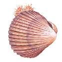 Bivalves, such as the cockle (Cardium sp.), have...