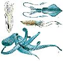 The squid (1), cuttlefish (2), and octopus (3)...