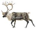 Always found in herds, reindeer (Rangifer...