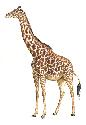 The world's tallest mammal, the giraffe (Giraffa...