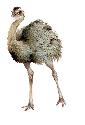 The flightless rhea roams the pampas of South...