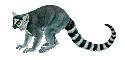The ring-tailed lemur (Lemur catta), like the 16...