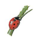 The seven-spot ladybird or ladybug (Coccinealla...