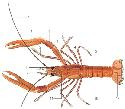 The Norway lobster (Nephrops norvegicus), a small...