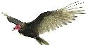 The red-headed turkey vulture (Cathartes aura) is...