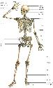 The human skeleton consists of about 206 bones...
