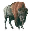 European settlers hunted the American bison...