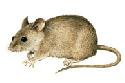 The house mouse (Mus musculus) is found...