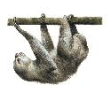 The sloth is an unusual herbivore in that it can...