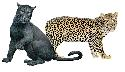 Leopards or panthers (Panthera pardus) live in...