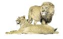 Prides of lions (Panthera leo) are commonly seen...