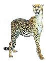 Also known as the hunting leopard, the cheetah...