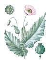 Cultivated since the Middle Ages, the opium poppy...