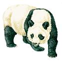 The giant panda (Ailuropoda melanoleuca) is found...
