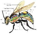 The internal anatomy of all insects, such as the...