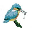 The kingfisher (Alcedo atthis) is widespread...