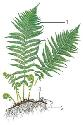 A typical fern, such as the lady fern (Athyrium...