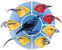 The various honeycreepers of Hawaii evolved from...