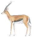The Thomson's gazelle (Gazella thomsoni) inhabits...