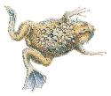 The Surinam toad (Pipa pipa) lays three to ten...
