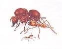 Most ant societies are made up of different types...